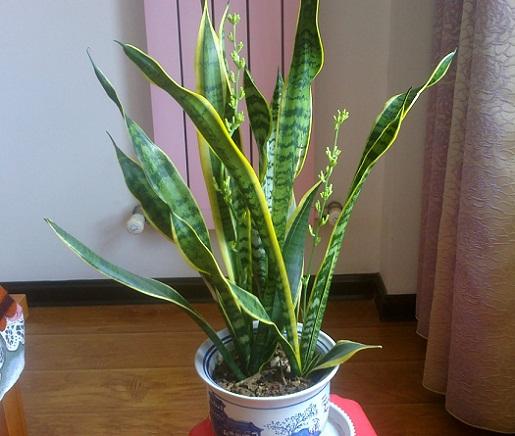 植物可净化室内空气,在新春到来之际买盆来迎春吧。