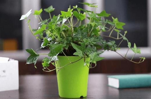 迎新春这十种能除甲醛净化空气的植物花卉值得选购